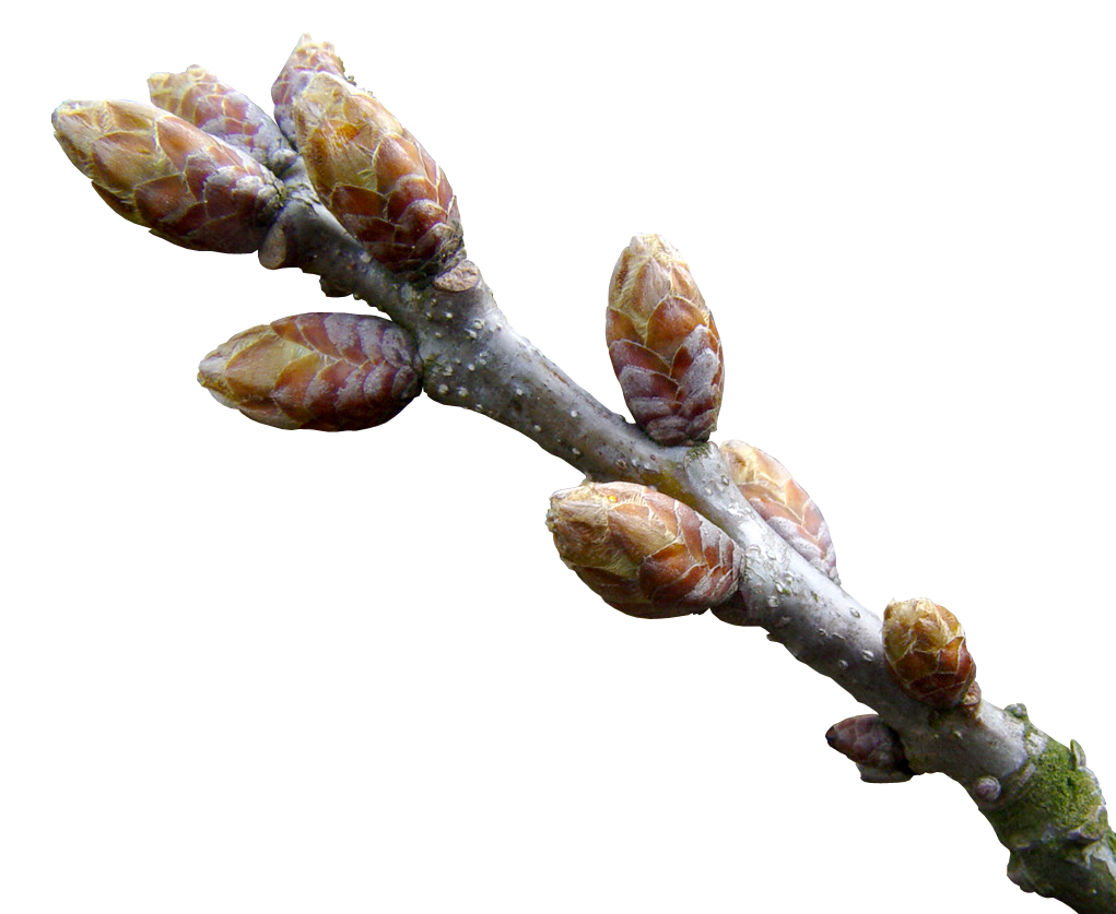 Image result for herbalgem alder bud